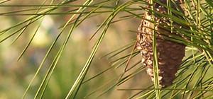 pine-cones-1380548-640x480-1