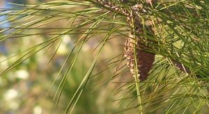 pine-cones-1380548-640x480